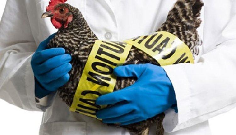 O que é a gripe aviária, sintomas causas e tratamento.